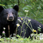 black-bear-with-flowers_Jitze-Couperus